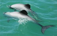Two_Maui's_dolphins