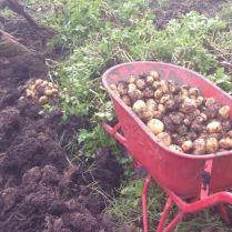 Aardappels rooien - vele kruiwagens vol!
