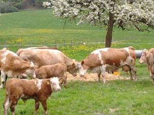 Kühe Almauftrieb