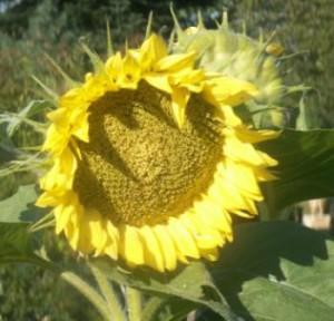 Sonnenblume, Herbst, Ferien auf dem Bauernhof