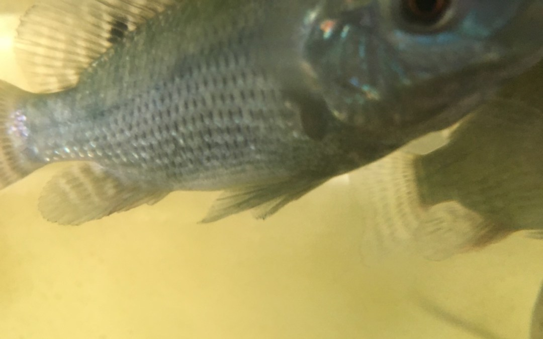 Tilapia for aquaponics system to cycle new fish tank for Fishing for tilapia
