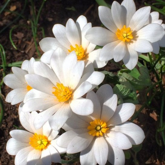 Easy to grow and pest proof bloodroot