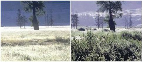 Kiri: sebelum reintroduksi serigala. Kanan: setelah reintroduksi serigala