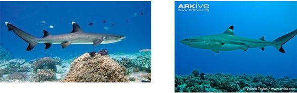 hiu di terumbu karang