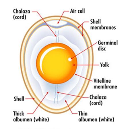 fisiologis dan bagian-bagian telur