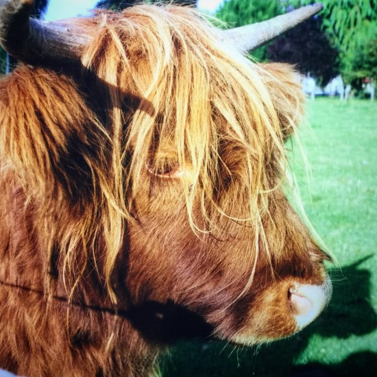 Scottish Highlands Cow Hairy Coo | Things To Do In Europe