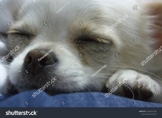 Nice chihuahua puppy
