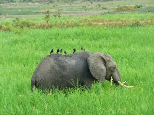 Elephant giving a ride to some birds