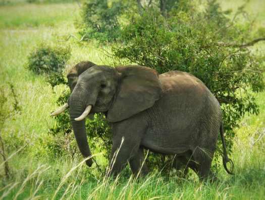 Elephant strutting at Murchison Falls