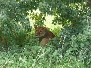 Lioness at Murchison Falls National Park