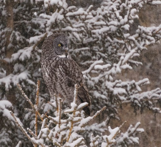 Great Horned Owl in Water Valley Alberta