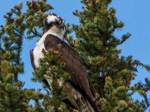 Osprey seen while kayaking the Columbia River