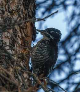 Three Toed Woodpecker at Tonquin Valley