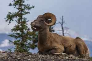 Big Horn Sheep in Jasper