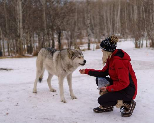Our guide feeding one of the lower content wolfdogs at the Yamnuska Wolfdog Sanctuary