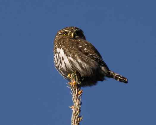Northern Pygmy Owl with Olympus TCON-17x