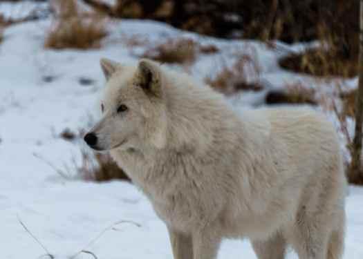 Nova, one of the high content wolfdogs at Yamnuska Wolfdog Sanctuary