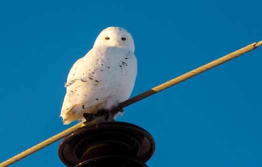Snow Owl taken with Sony 55-210 and TCON-17x