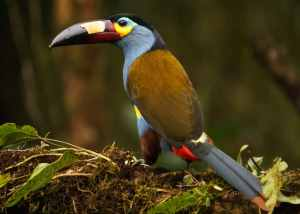 Plate Billed Mountain Toucan at Mindo