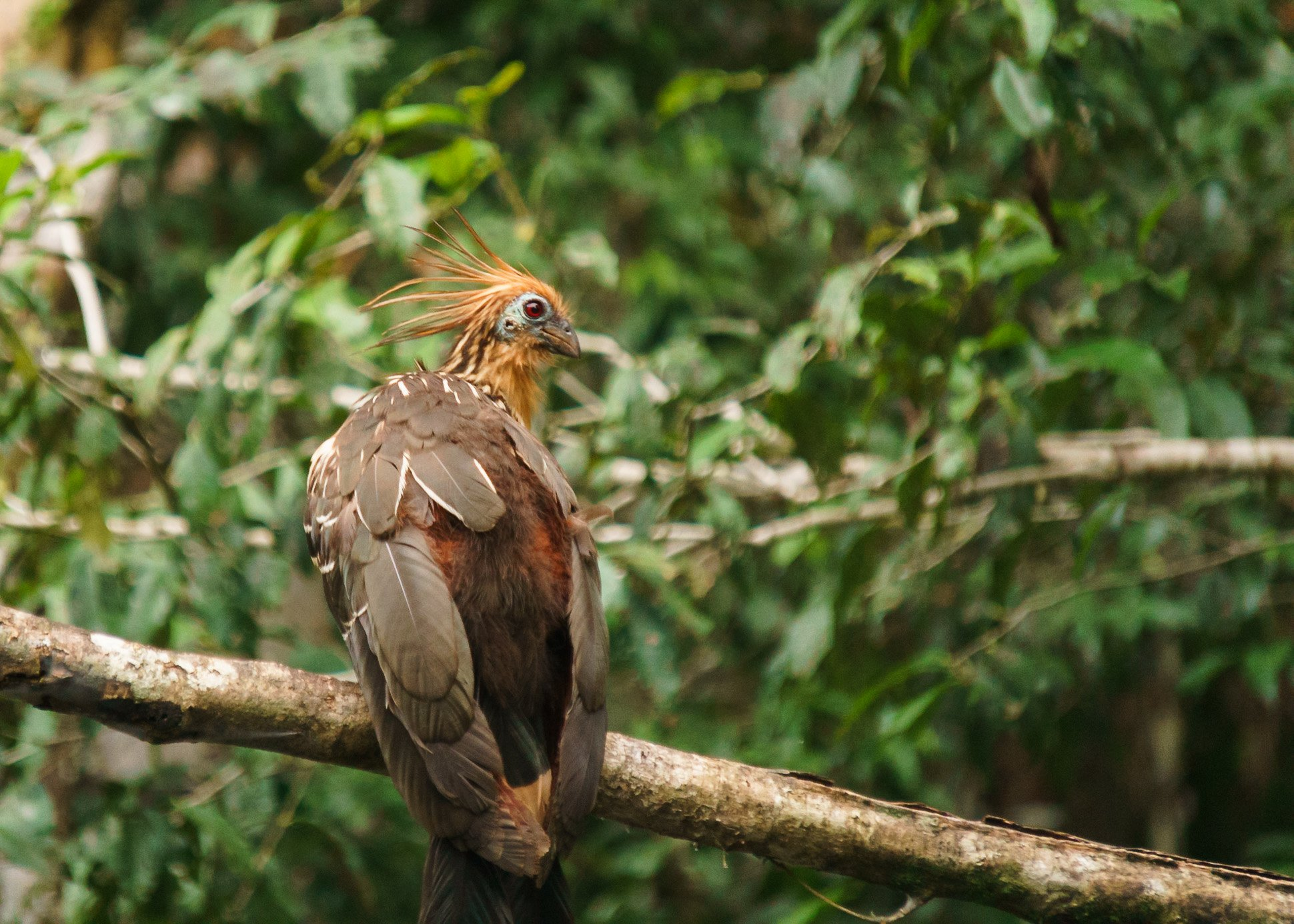 Hoatzin Photographed While On Tour In The Ecuador Amazon