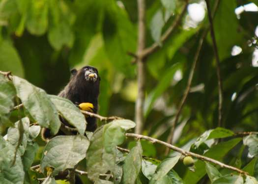 Tamarind Monkey stuffing his face - photographed on our tour of Ecuador's Amazon