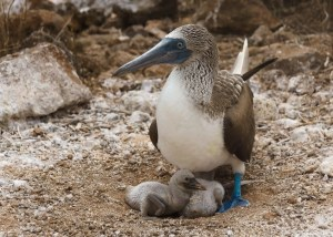 Baby Blue-footed Boobies on North Seymour Island, Galapagos