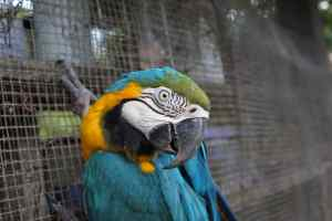 Monchito the blue and yellow macaw at CIWY Bolivia