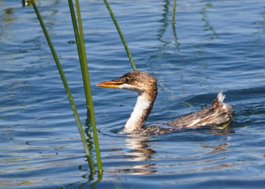 The Endangered Titicaca Grebe