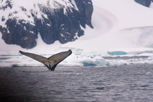 Humpback Whale Tale in Antarctica