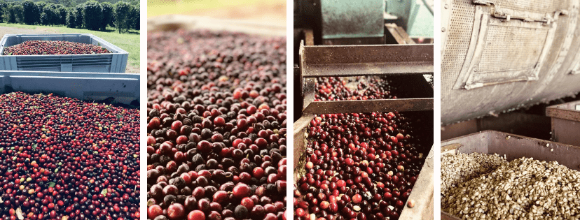 ripe coffee fruit in the tray