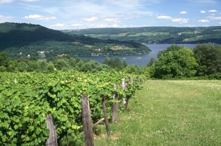 Finger Lakes Wine Country Vines