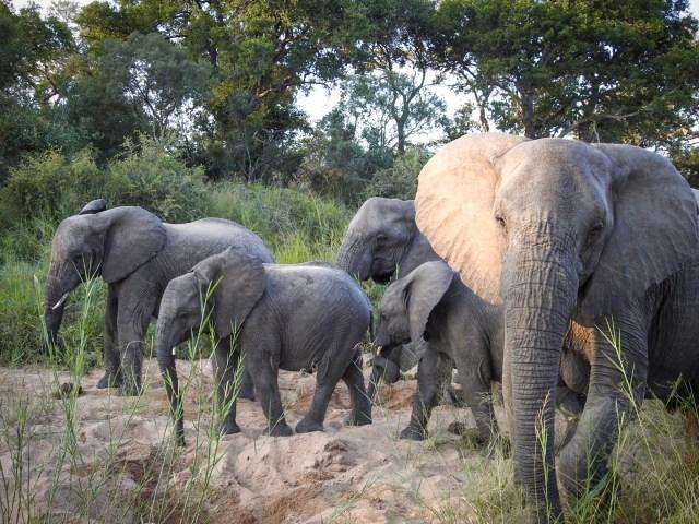 South Africa Safari Elephant Family