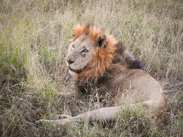 South Africa Safari Lion