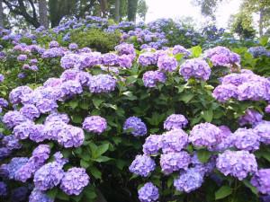 初夏のきれいな紫陽花