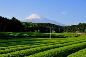 初夏の茶畑と富士山