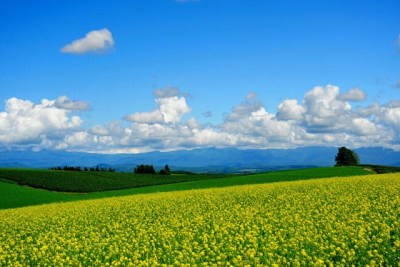 初夏の青空と菜の花畑