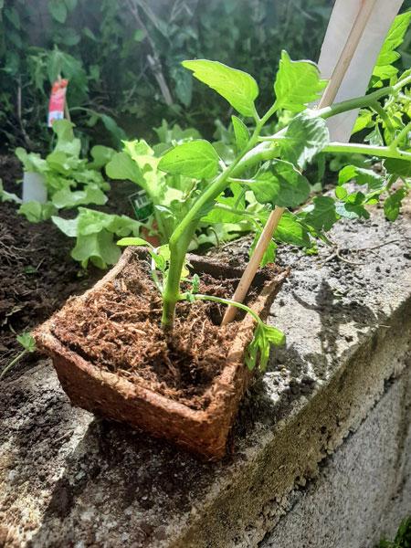 Plants zéro déchet avec pots biodégradébles
