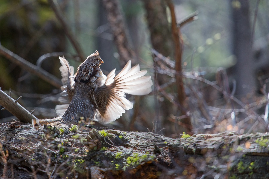 Why You Should Try Ruffed Grouse Hunting