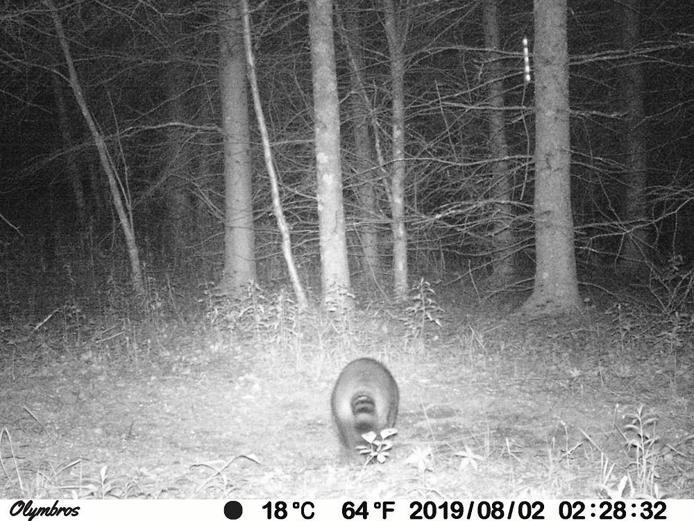 raccoon trail camera