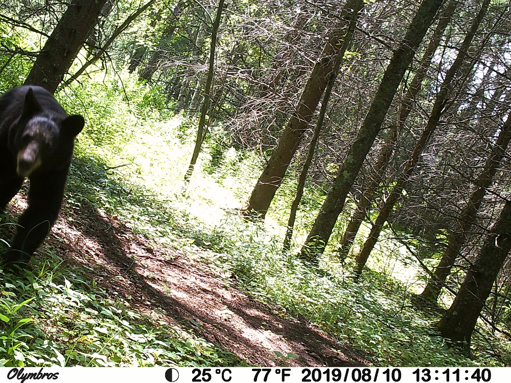 black bear trail camera