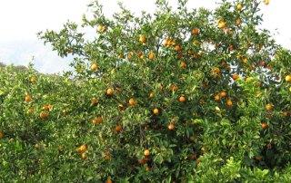 Citrus-tree-2