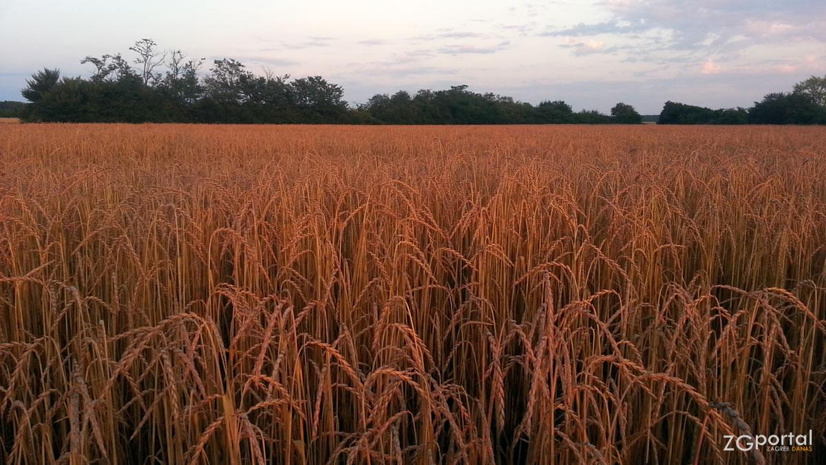 žitno polje - mala mlaka zagreb - lipanj 2017.