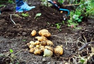 krumpir / 2021.