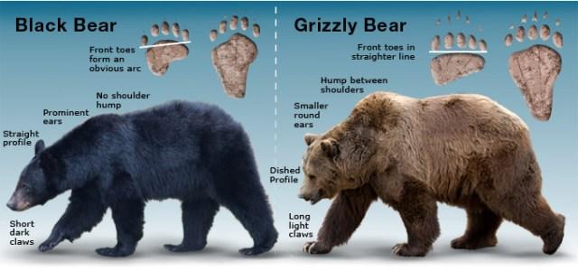 Bears-black-grizz-Distinctive-Features