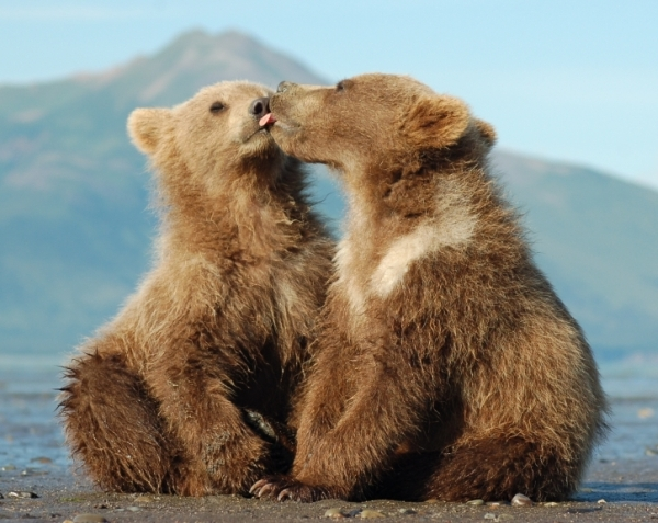 Grizzly_Bear_Info_Images 07
