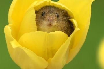 """Splendide le foto di questa razza speciale di topolini """"Harvest Mice"""" che entrano nei tulipani"""