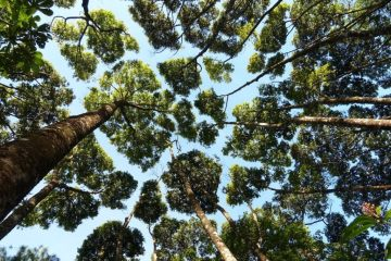 La timidezza botanica: il singolare fenomeno per cui le cime degli alberi non si toccano mai