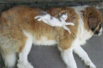 Gatti che dormono sui cani