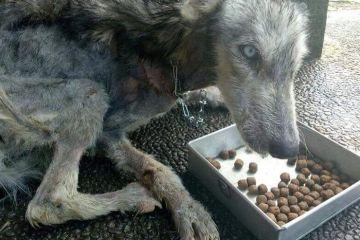Questo Husky è stato ritrovato così malnutrito che sembrava uno scheletro, 10 mesi dopo è irriconoscibile