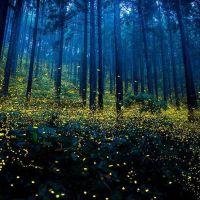 Il magico spettacolo delle lucciole nelle estati giapponesi
